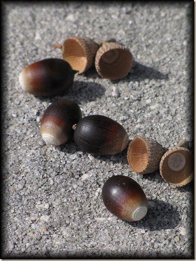 acorns[1]