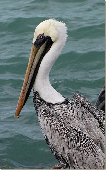 pelican1_zps260d1413[1]