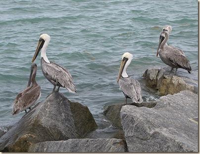 pelicans_zps0ebcab82[1]