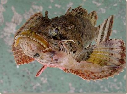 rockfish2_zpsa1d97bcd[1]
